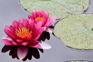 water liliy